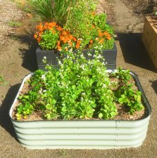 Wicking beds with veggies - Self watering wicking bed